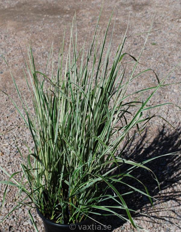 Calamagrostis acutiflora 'Overdam'-0