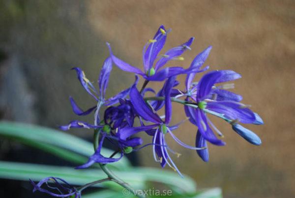 Camassia quamash-955