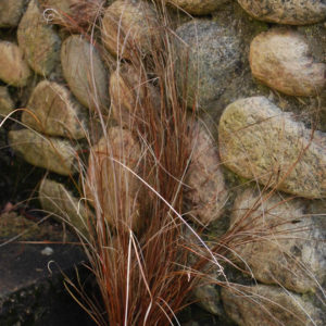 Carex buchananii -0