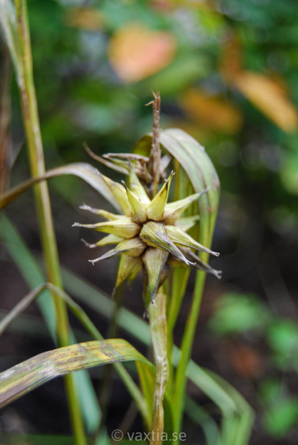 Carex grayi-0