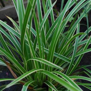 Carex - Starr