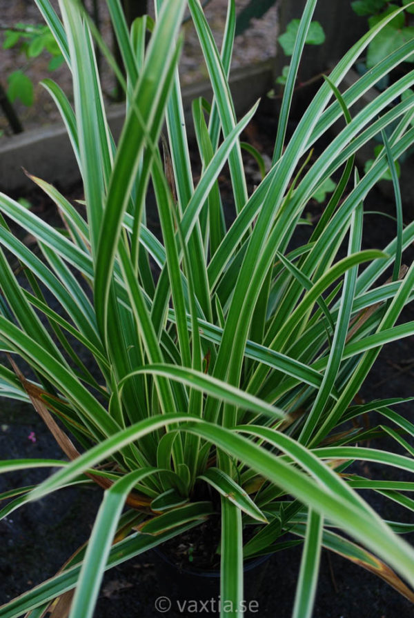 Carex morrowi 'Ice Dance'-0