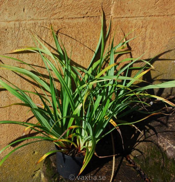 Carex pendula-0
