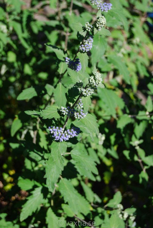 Caryopteris clandonensis 'Grand Bleu' -2072