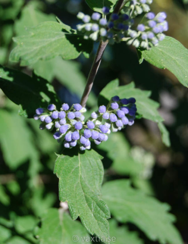 Caryopteris clandonensis 'Grand Bleu' -0
