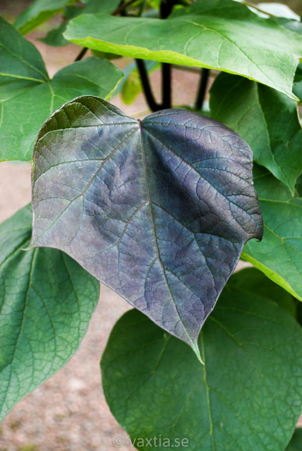 Catalpa erubescens 'Purpurea'-0