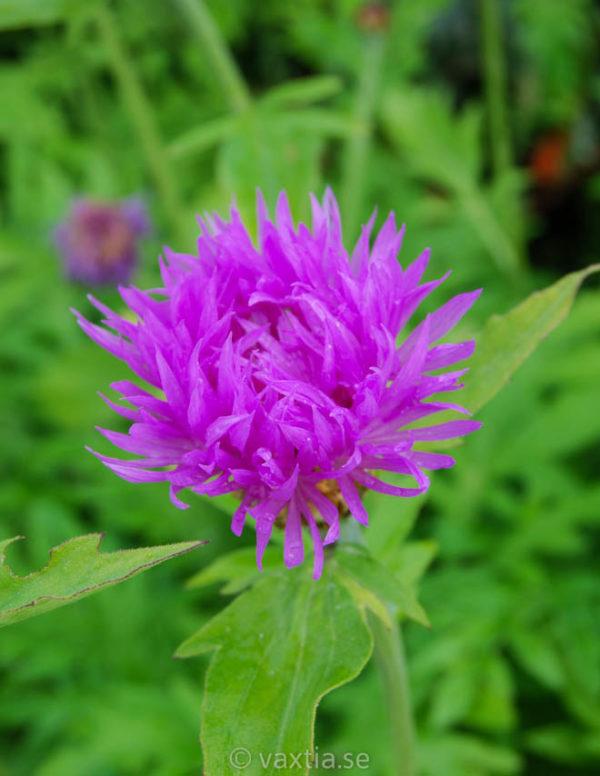 Centaurea dealbata -0