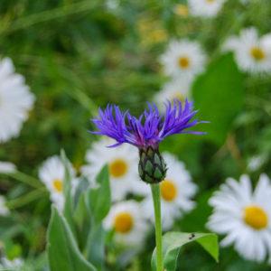 Centaurea montana -0