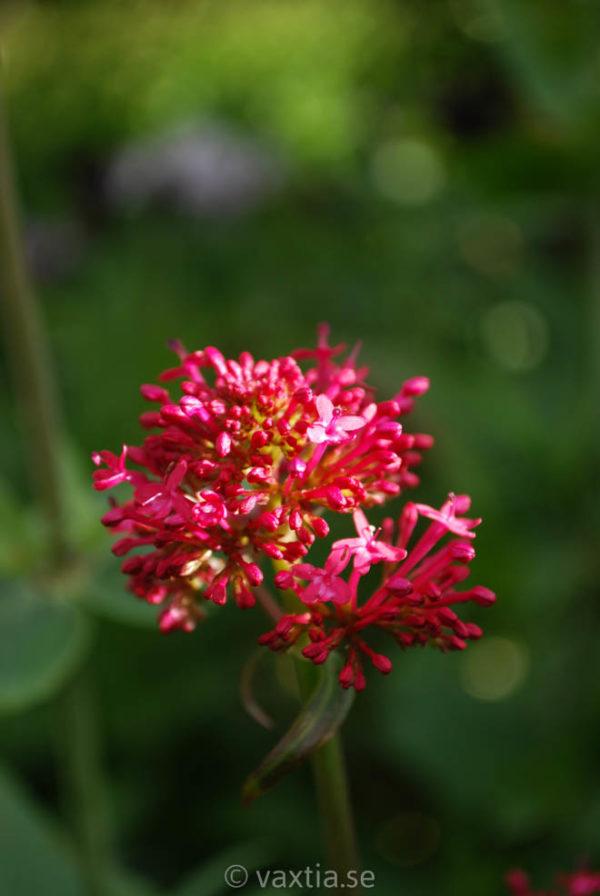 Centranthus ruber 'Coccineus'-0