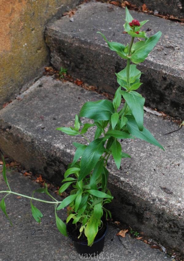 Centranthus ruber 'Coccineus'-974