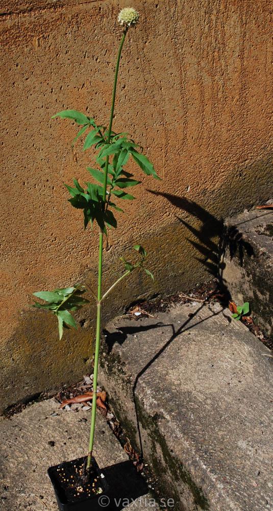 Cephalaria alpina-1639