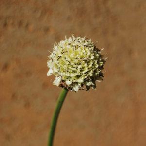 Cephalaria alpina-0