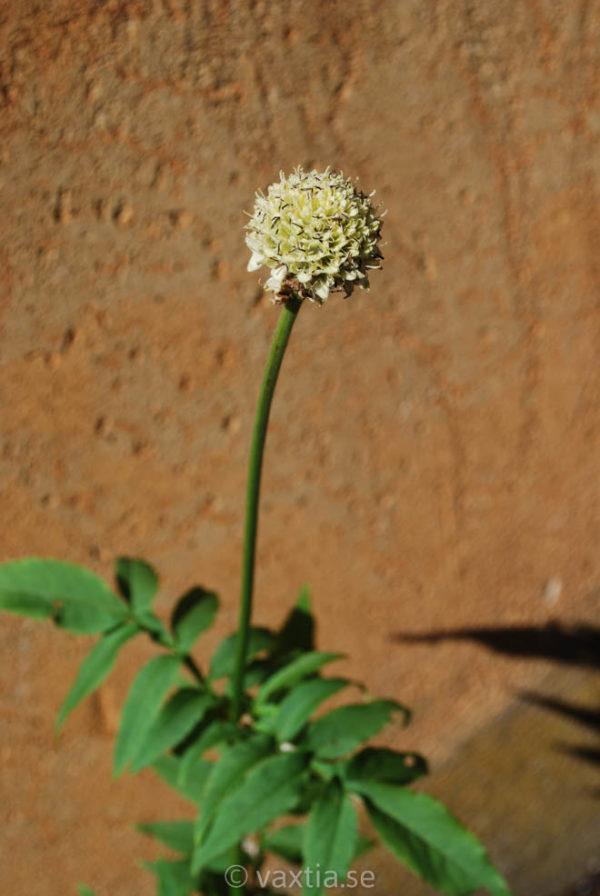 Cephalaria alpina-1637