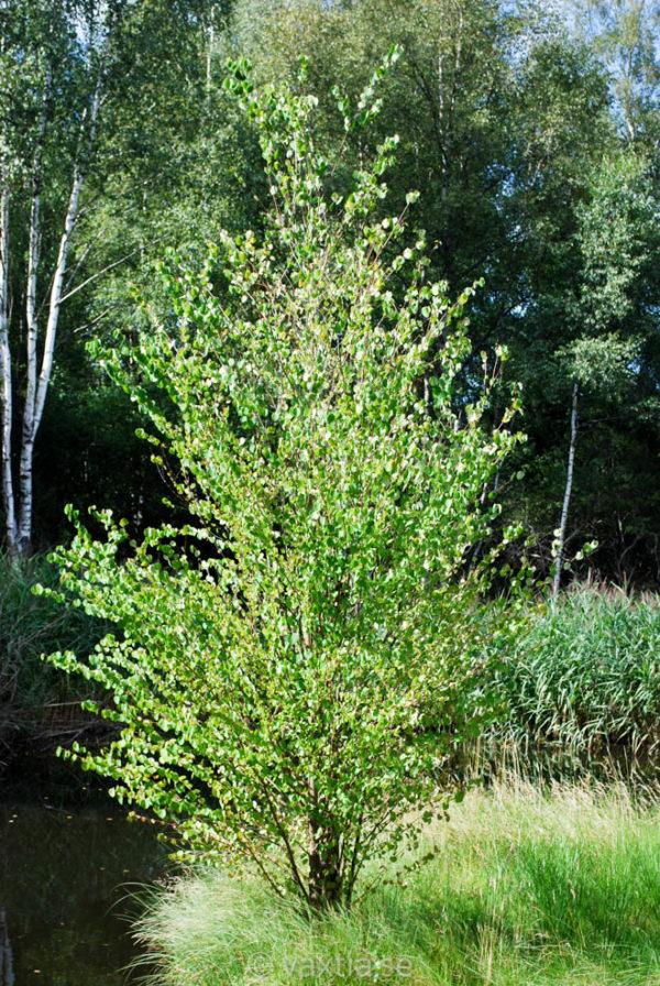 Cercidiphyllum japonicum FK Göteborg-493