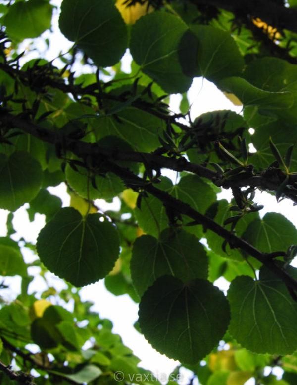 Cercidiphyllum japonicum FK Göteborg-74