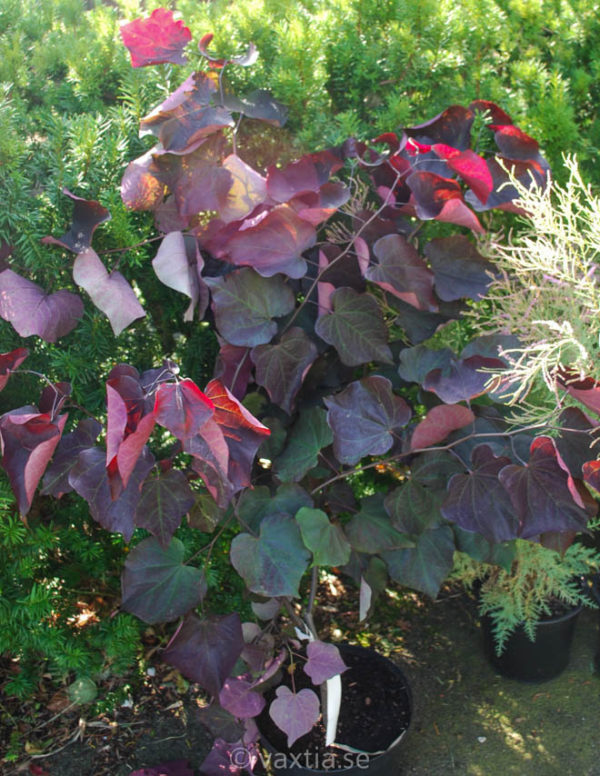 Cercis canadensis 'Forest Pansy'-0