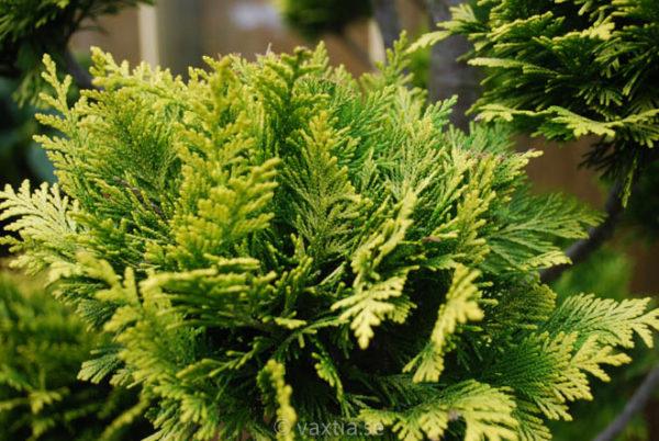 Chamaecyparis lawsoniana 'Ivonne'-2212