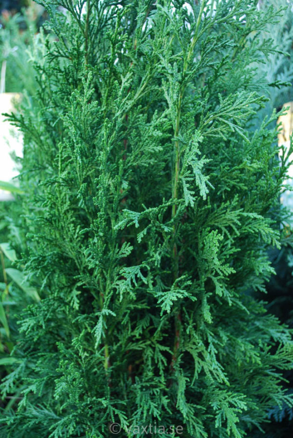 Chamaecyparis lawsoniana 'Erecta Robusta'-0