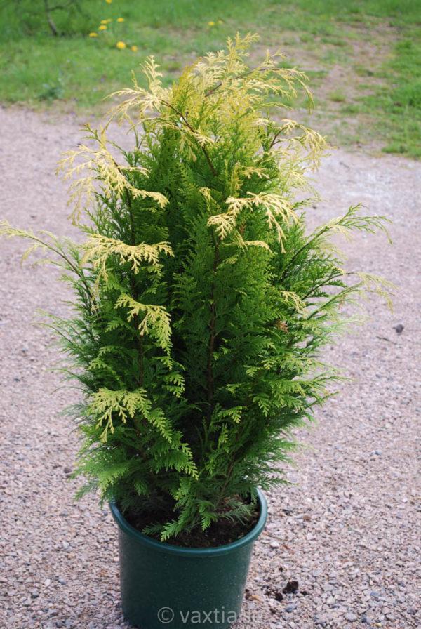 Chamaecyparis lawsoniana 'Ivonne'-0