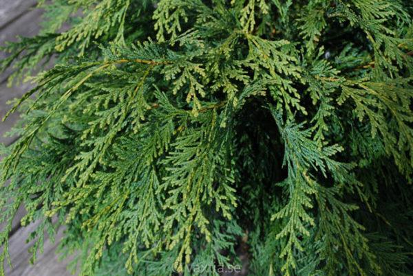 Chamaecyparis lawsoniana 'Sunkist'-670