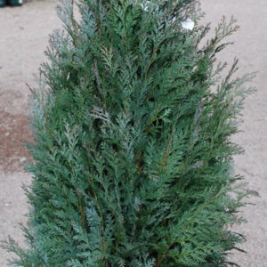 Chamaecyparis lawsoniana 'Van Pelts Blue'-0