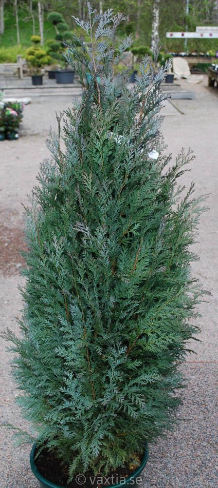 Chamaecyparis lawsoniana 'Van Pelts Blue'-0
