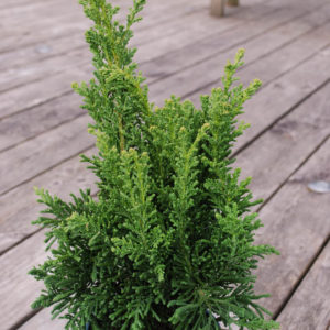 Chamaecyparis obtusa 'Drath'-0
