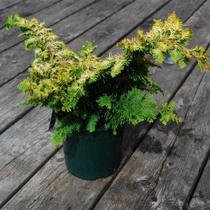 Chamaecyparis obtusa 'Fernspray Gold'-0
