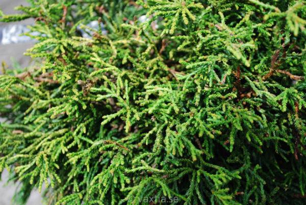 Chamaecyparis obtusa 'Tsatsumi Gold'-685