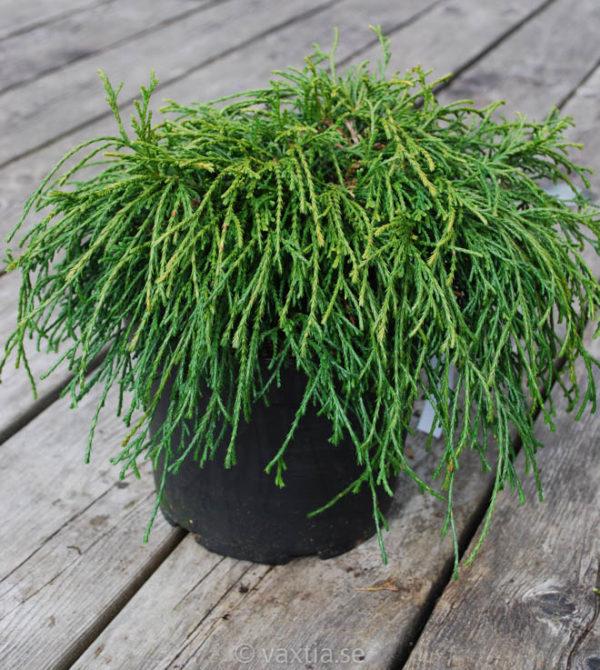 Chamaecyparis pisifera 'Filifera Nana'-0