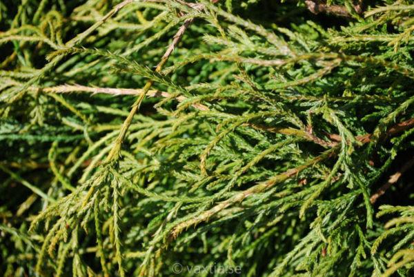 Chamaecyparis pisifera 'Filifera Nana'-917