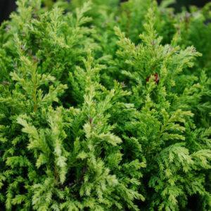Chamaecyparis pisifera 'Plumosa Aurea'-0