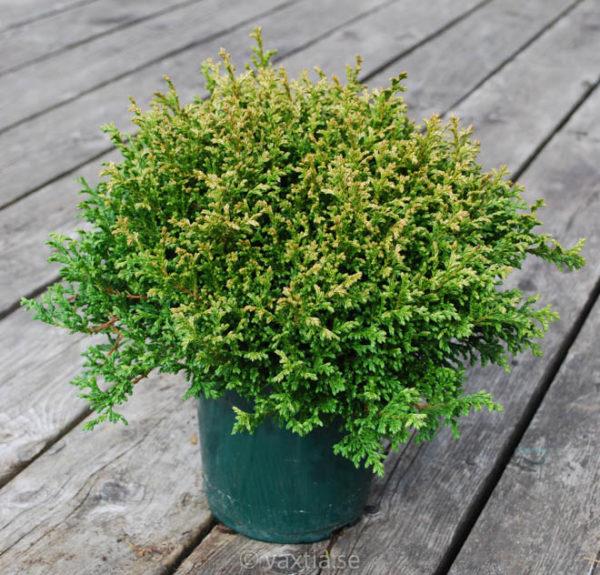 Chamaecyparis pisifera 'Plumosa Compressa'-0