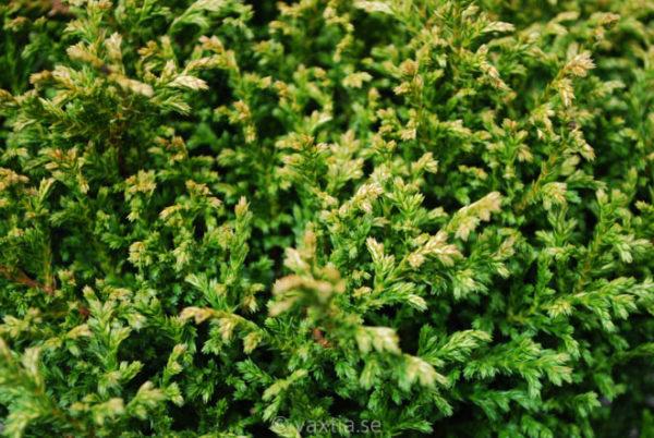 Chamaecyparis pisifera 'Plumosa Compressa'-690