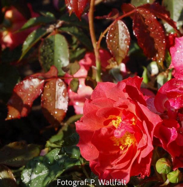 'Cinco de Mayo' (Floribunda)-0