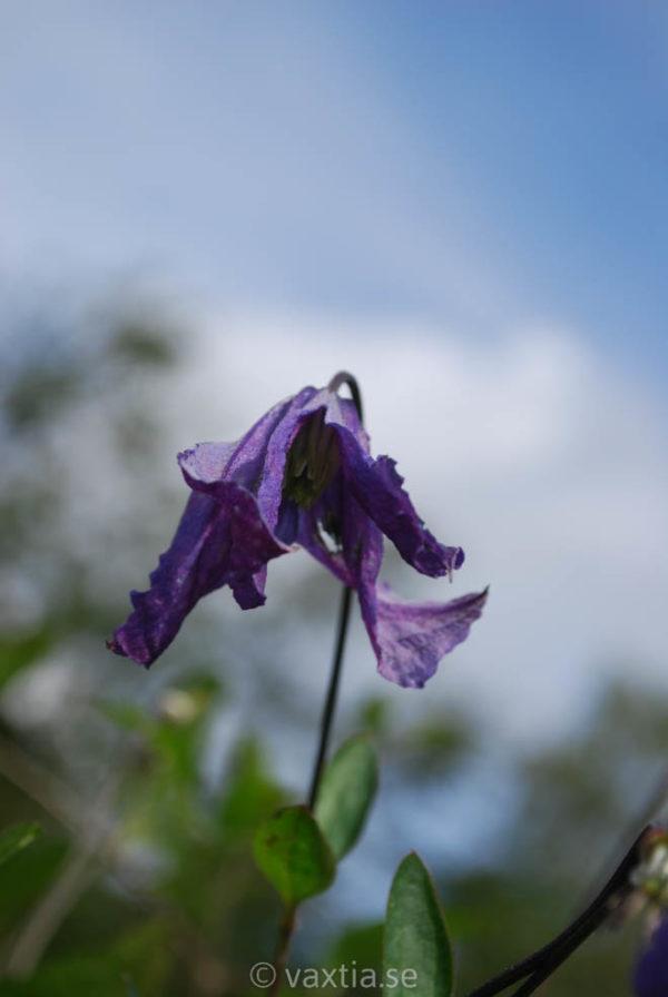 Clematis integrifolia 'Blue Rain' ('Sinii Dozhd')-0