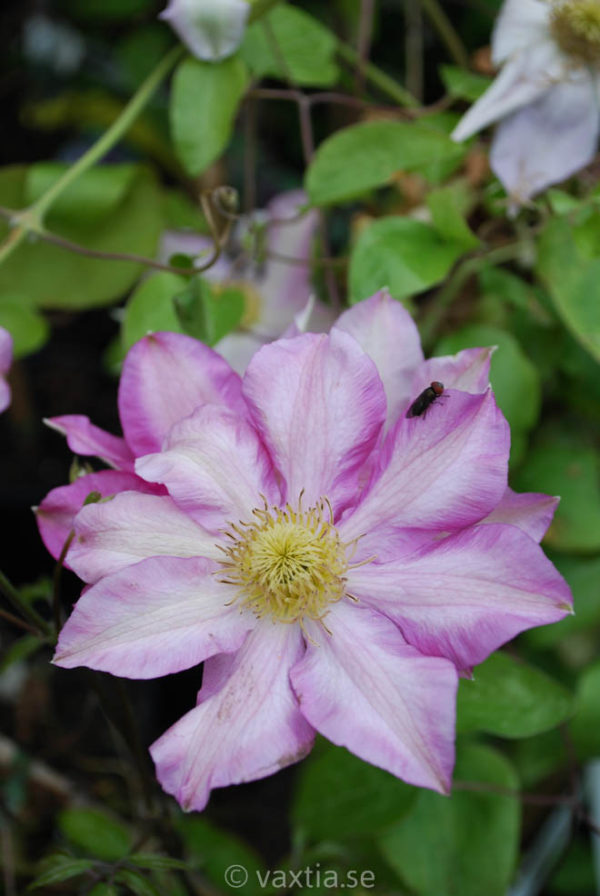 Clematis 'Kakio' (Pink Champagne)-0