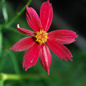 Coreopsis verticilliata Red Satin-0