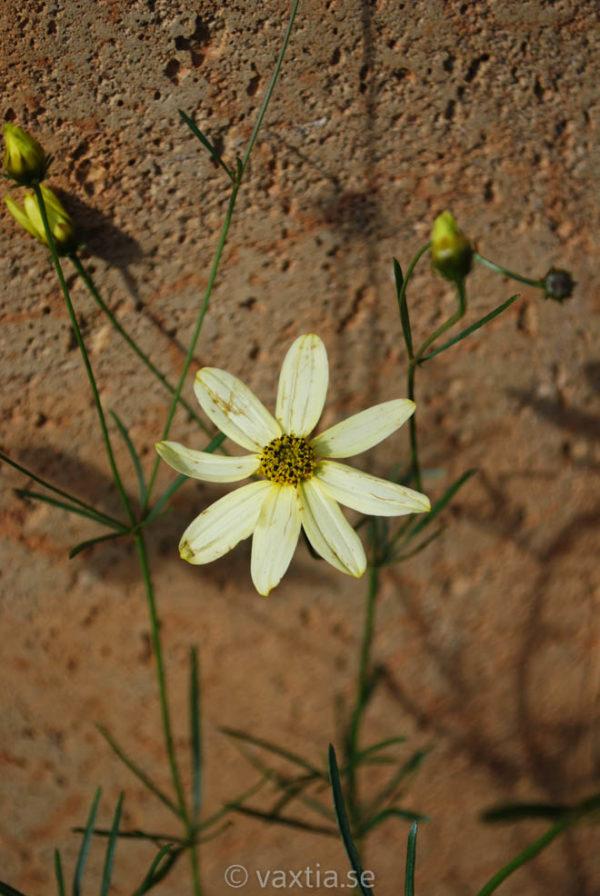 Coreopsis verticillata 'Moonbeam'-0