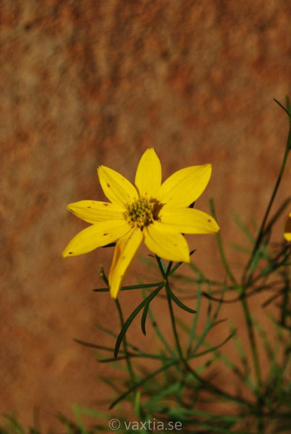 Coreopsis verticillata 'Zagreb'-0