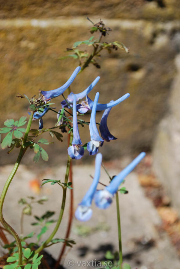 Corydalis flexuosa 'Purple Leaf'-0