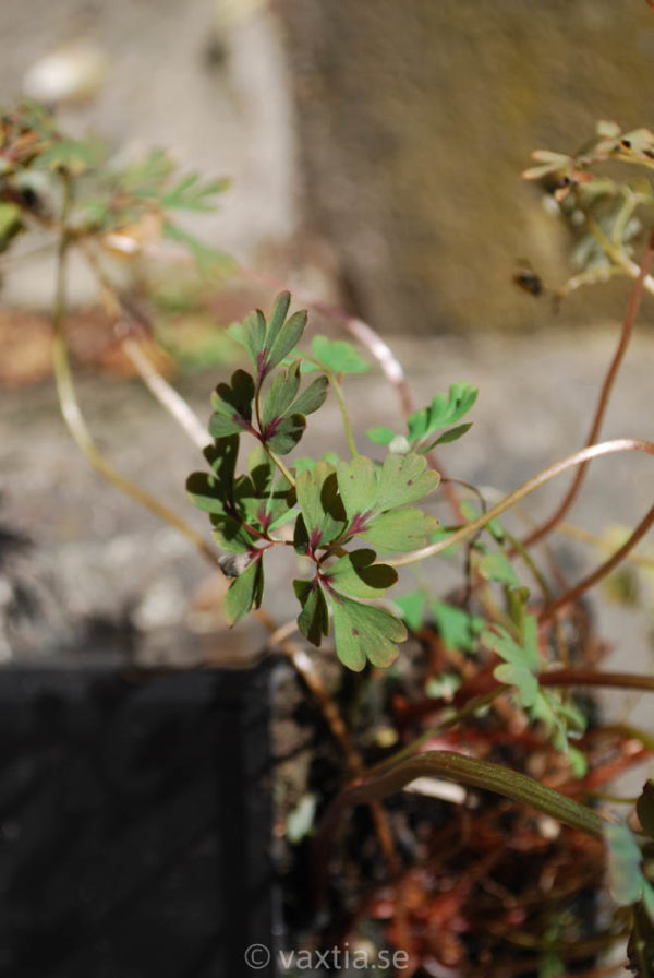 Corydalis flexuosa 'Purple Leaf'-1160