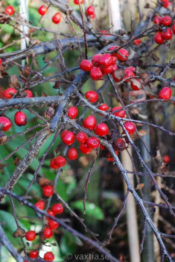 Cotoneaster apiculatus 'Boer'-0