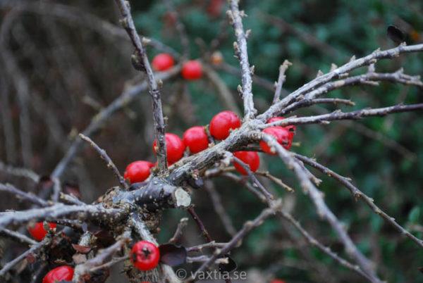 Cotoneaster apiculatus 'Boer'-2217