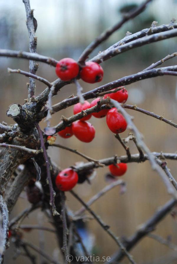 Cotoneaster apiculatus 'Boer'-2218