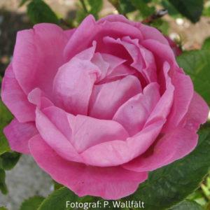'Coupe d´Hebe´(Rosa x bourboniana)-0