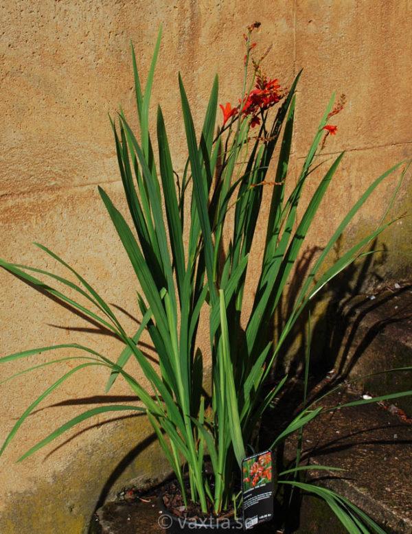 Crocosmia crocosmiiflora 'Fire King'-1849