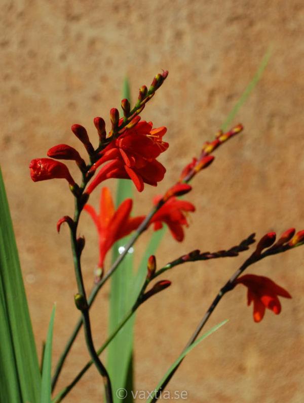Crocosmia crocosmiiflora 'Fire King'-0