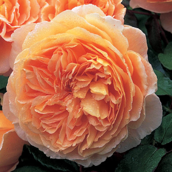 'Crown Princess Margareta'-0