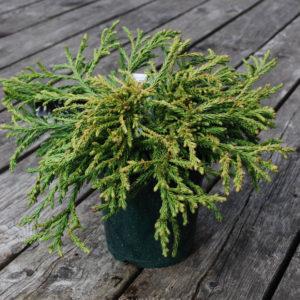 Cryptomeria japonica 'Little Champion'-0